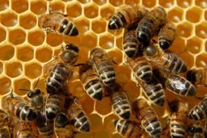 Bienen-auf-Wabe